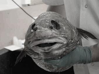 WC Fisch